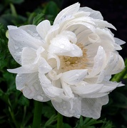 20th Aug 2018 - White ranunculus (or is it an anemone?)