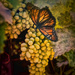 Grapes and Butterfly