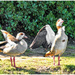 Gif - Egyptian Goose showing off.
