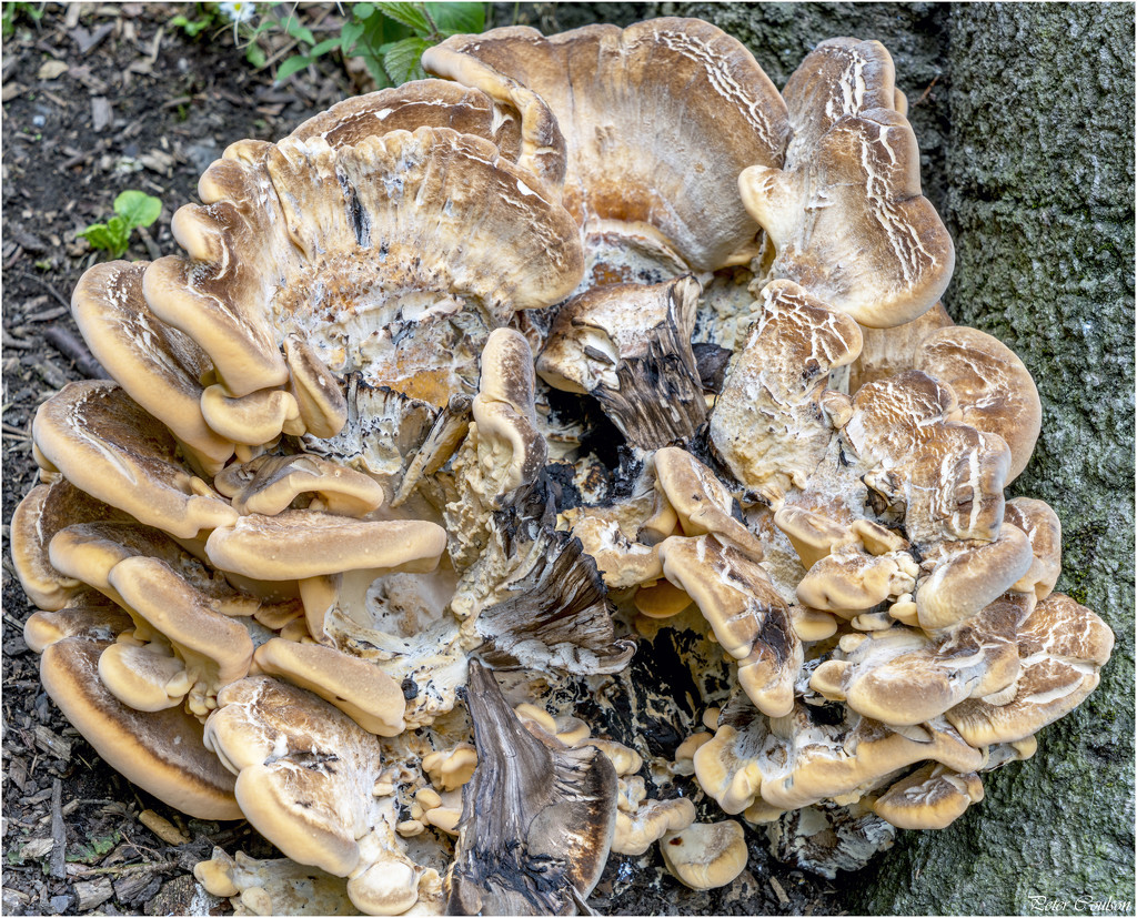 Giant Polypore Fungi by pcoulson