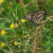 monarch with grass