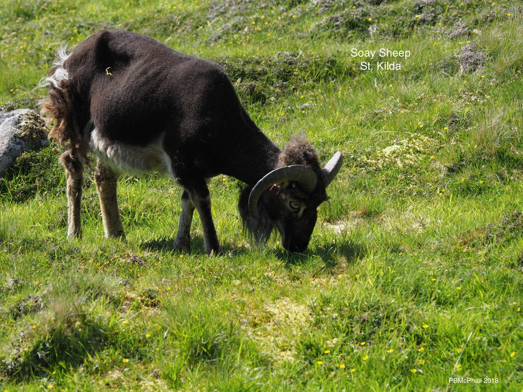 Soay Sheep on Hirta by selkie