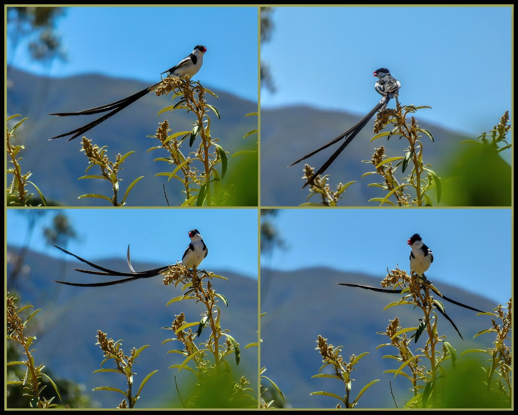 Pin tailed Wydah for Louise by ludwigsdiana