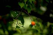 20th Aug 2018 - Bright Apricot