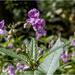 Wild Himalayan Balsam