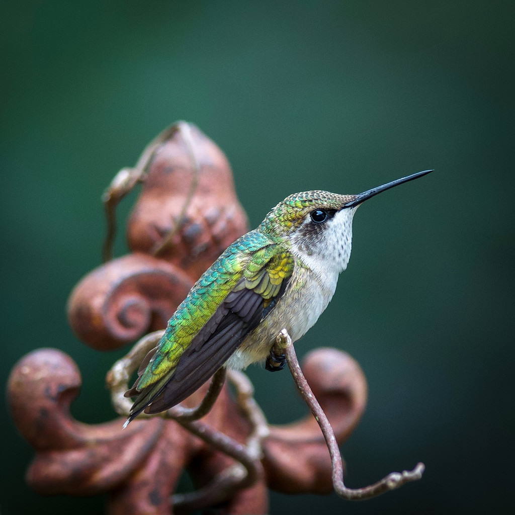 Upon the Hummingbird Throne by berelaxed