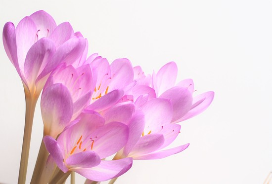 Colchicum autumnale by jacqbb