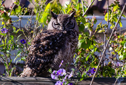 22nd Aug 2018 - Spotted Eagle Owl - 2