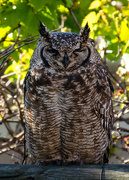 21st Aug 2018 - Spotted Eagle Owl - 1