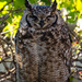 Spotted Eagle Owl - 1 by salza