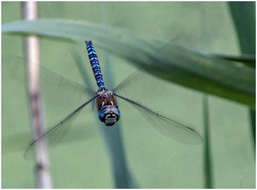 Migrant Hawker by mave