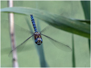 22nd Aug 2018 - Migrant Hawker