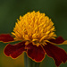 Bedding Marigold. by tonygig