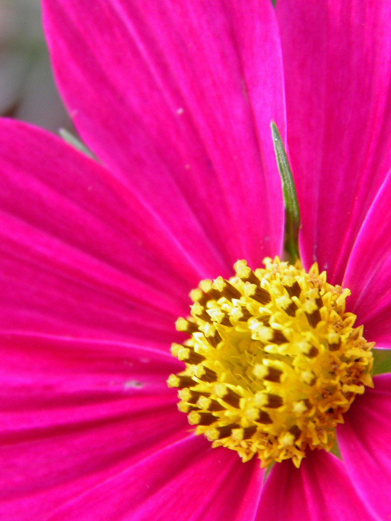 August 21: Cosmos by daisymiller