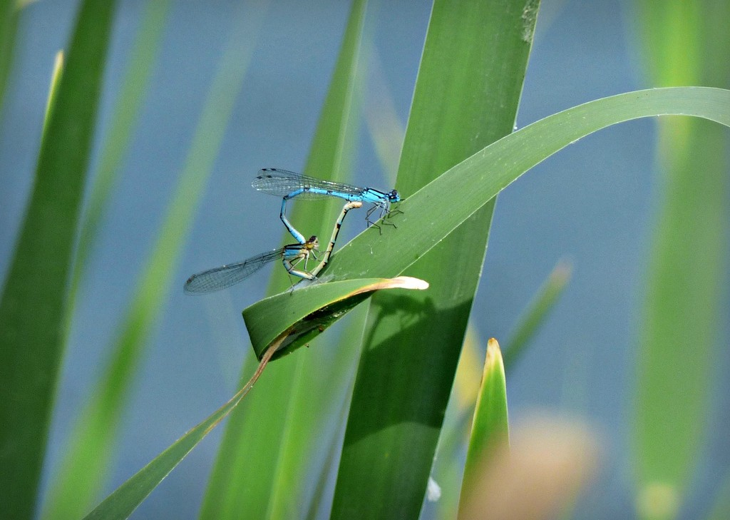 Damsel flies  Lackford Lakes by judithdeacon