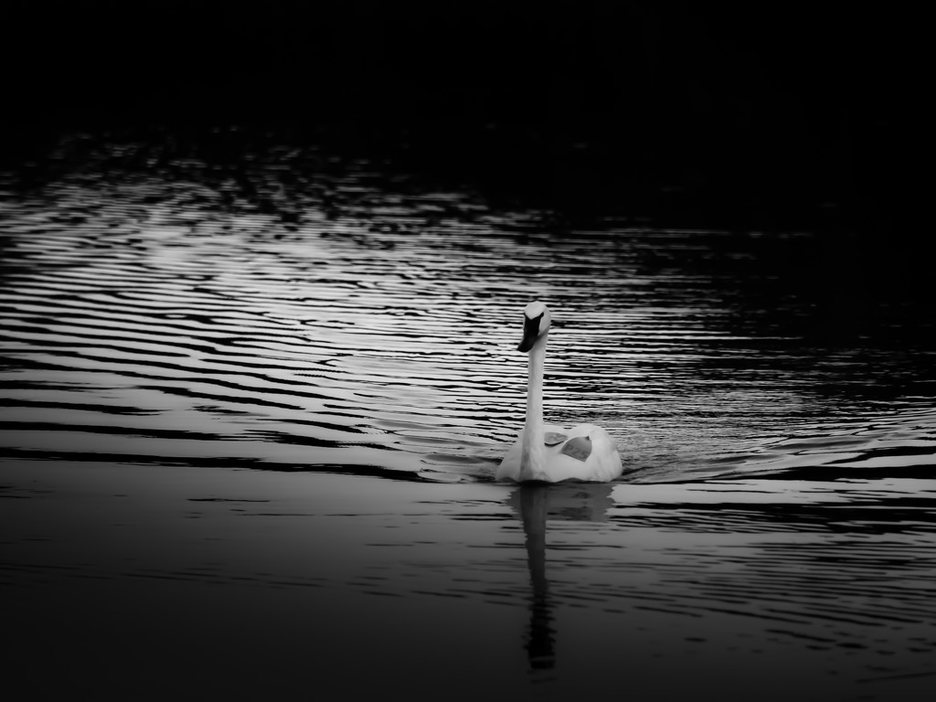 swan p25 by northy