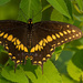 Palamedes Swallowtail Butterfly at Rest! by rickster549