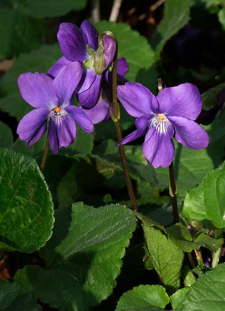 Sweet violets by maureenpp
