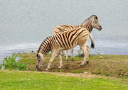 23rd Aug 2018 - Thirsty Zebra