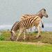 Thirsty Zebra by ludwigsdiana