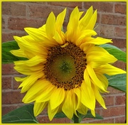 24th Aug 2018 - Sunflower