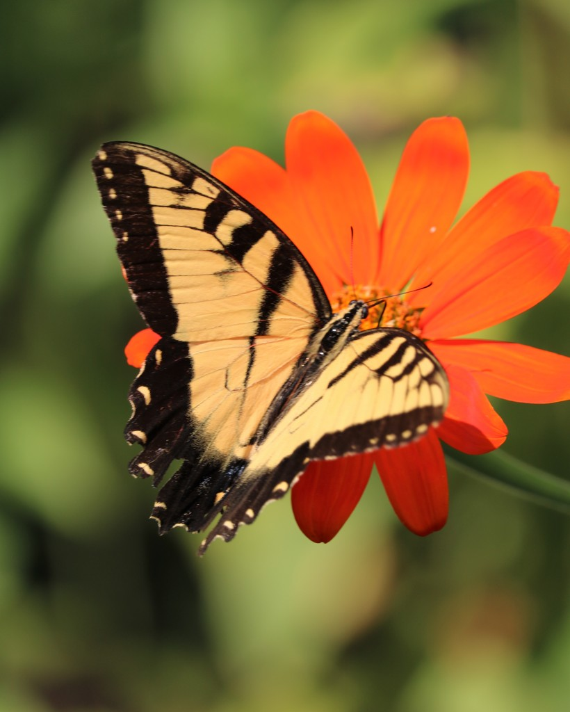 August 24: Swallowtail by daisymiller