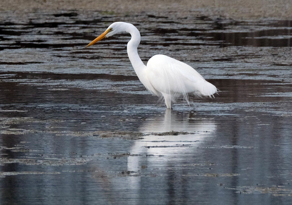 White heron - great egret - kotuku by maureenpp
