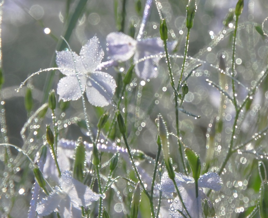 Morning Dew by janeandcharlie