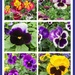 Pansy Faces by pamknowler