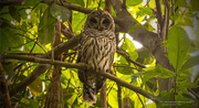 24th Aug 2018 - Another Barred Owl!