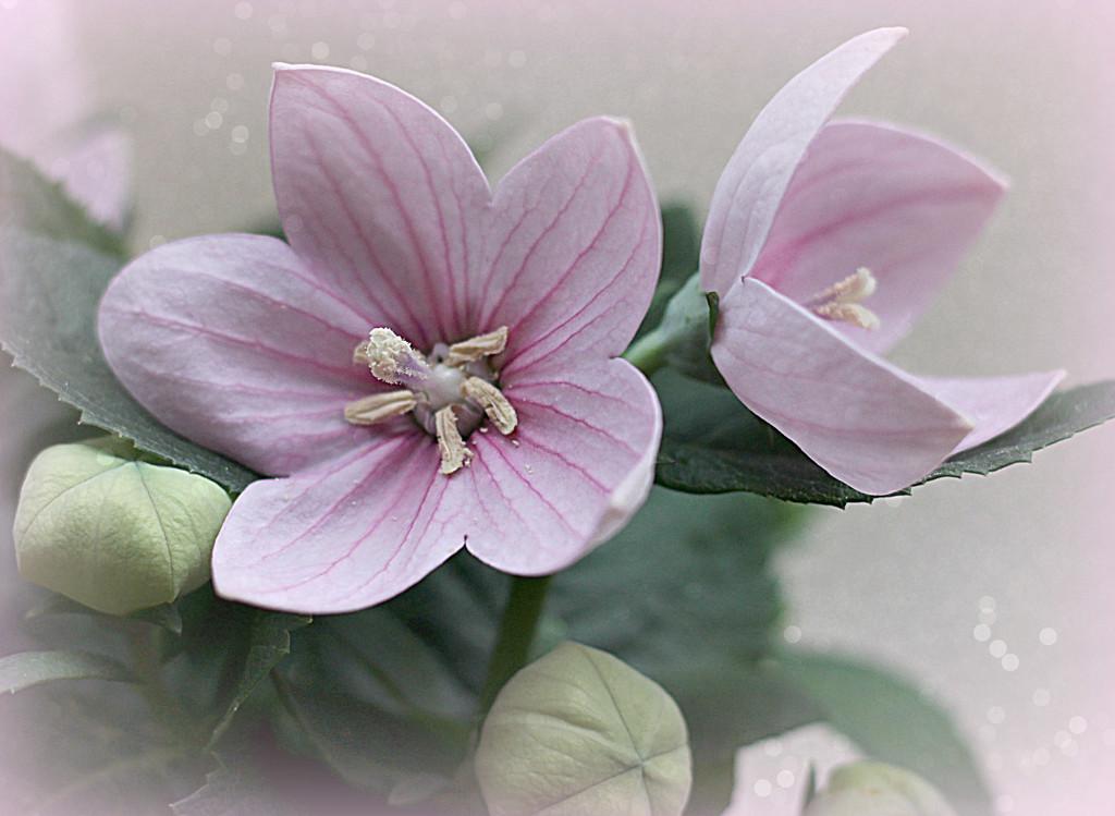 Balloon Flower in Pink. by wendyfrost