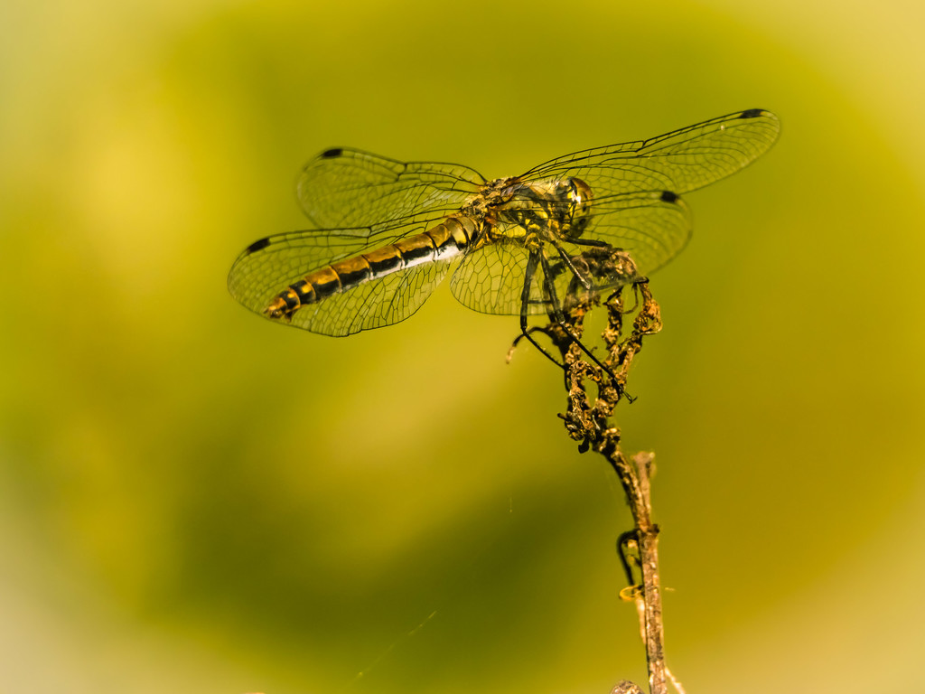 A dragonfly by haskar