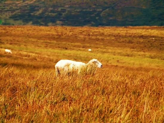 Hide and Sheep by ajisaac