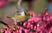 26th Aug 2018 - Happiness is a waxeye in blossom?