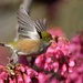 Happiness is a waxeye in blossom? by maureenpp