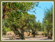 26th Aug 2018 - The Olive Grove