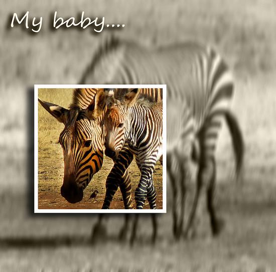 zebra baby by sdutoit