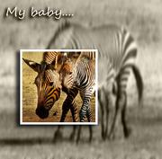 26th Aug 2018 - zebra baby