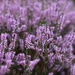 The bonnie blooming heather by jamibann