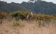 26th Aug 2018 - White-Tailed Kites