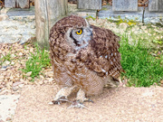 27th Aug 2018 - Gif - Spotted Eagle Owl