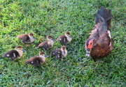 27th Aug 2018 - Mom and her six cute ducklings