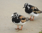 19th Aug 2018 - Turnstones