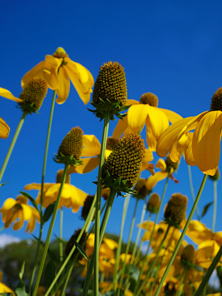 Blue Sky/Yellow Flower Day by gq