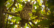27th Aug 2018 - One More Barred Owl!