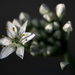 Garlic Chive Flowers by novab