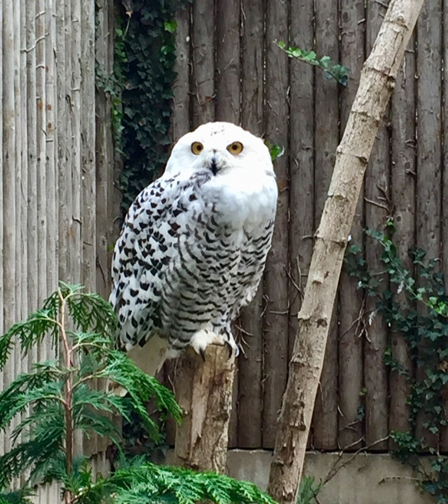 Snowy Owl by gillian1912