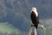 28th Aug 2018 - African Fish Eagle