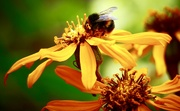 28th Aug 2018 - Flower & Bee