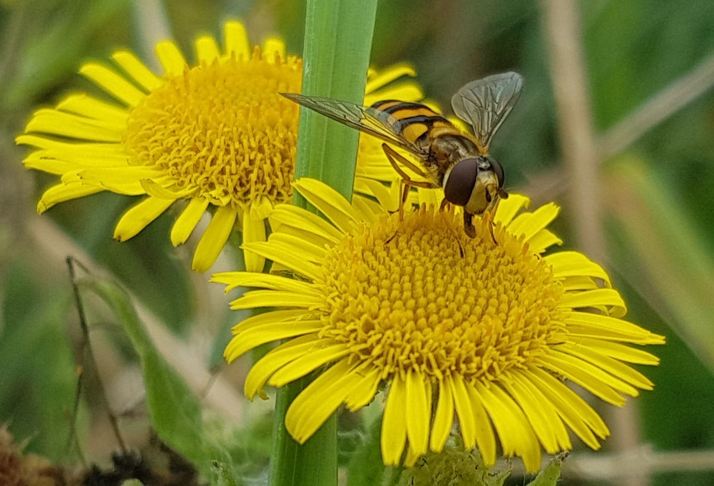 Hoverfly enjoying Common Fleabane by julienne1